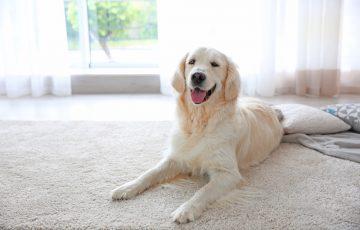 犬が毛玉を飲み込むとどうなる?誤飲を防ぐ3つの対策を紹介!